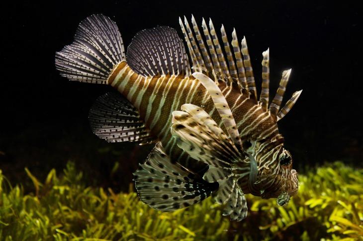 lionfish-711799_1920.jpg